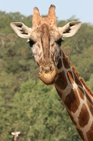 exotic animals discover africa on the sonoma serengeti safari west is home to