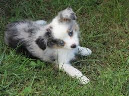 australian shepherd odor miniature australian shepherd puppies puppy for sale miniature and