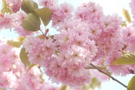 cherry flowers wallpapers flowers flowers spring branch blossoms leaves cherry flower