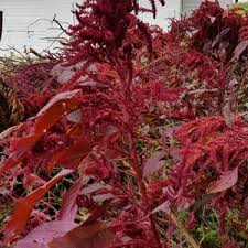 ornamental amaranth ask an expert
