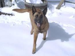 belgian shepherd dog malinois belgian shepherd dog malinois information