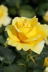 best 25 yellow roses ideas on pinterest rose meaning rose