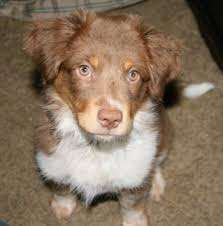 australian shepherd club qld texas heeler dog breed information and pictures