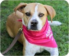 boxer dog adoption los angeles look at this guy i think he u0027s great dane too jester is an