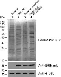 structural and functional characterization of nanu a novel high