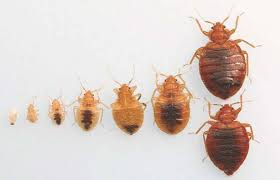 bugs in bedroom 11 bed bugs facts you need to know to defeat them pest hacks