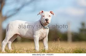 american stanford terrier y american pitbull terrier american staffordshire terrier pitbull stock photos u0026 american
