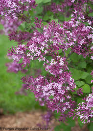 amazon com bloomerang dark purple reblooming lilac syringa live