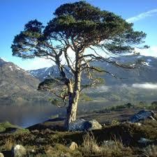 scots pine dna shows european roots compute scotland
