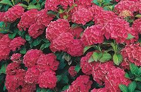 Flower Shrubs For Shaded Areas - 100 flowers for full shade 49 best shade plants for austin