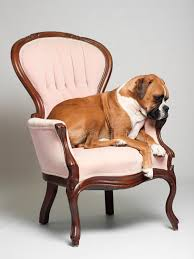 boxer dog on chair royalty free stock photography image 21850507
