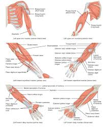 11 5 muscles of the pectoral girdle and upper limbs anatomy and