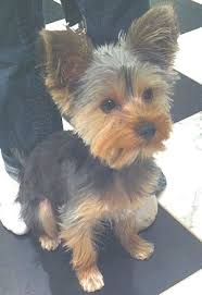 yorkie hairstyles yorkie haircut exles yorkie puppy cut asher the yorkie son of twiggy and lucky owned