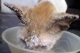 Salep Vco cara mengobati scabies pada kucing
