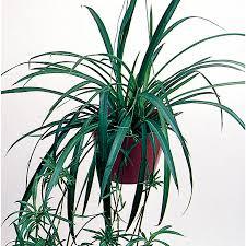shop 1 21 pint spider plant l03929 at lowes com
