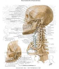 Human Jaw Bone Anatomy 4565 0550x0475 Jpg