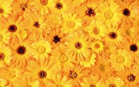 yellow daisies wallpaper flower wallpapers 54402