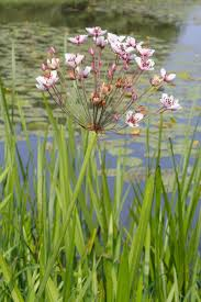 bc native plants weed of the week flowering rush invasive species council of