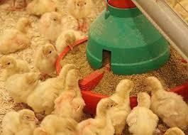 raise a plump farm raised turkey for thanksgiving
