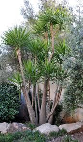 115 best yucca images on pinterest yucca plant garden plants