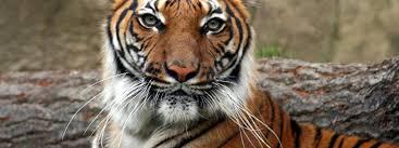 Home Interior Tiger Picture Tiger Species Wwf