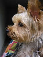 yorkie teddy bear face haircut all about yorkshire terriers yorkies training care books