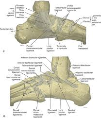 Posterior Inferior Tibiofibular Ligament Ankle Foot And Lower Leg Ultrasound Clinical Gate