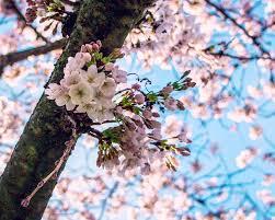 cherry blossoms university of washington 312 photos u0026 61