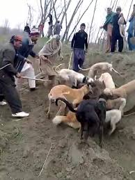 american pitbull terrier vs german shepherd liveleak com dogs grabs pig horrible fight dogs wins