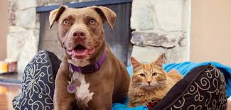 american pitbull terrier jaw pitbull facts and myths best friends animal society