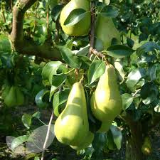 Online Fruit Trees For Sale - pear concorde fruit trees for sale buy online