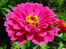 Zinnias Flowers Best 25 Zinnia Flower Pictures Ideas On Pinterest Dahlia Flower