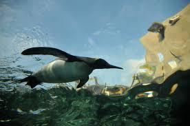 file aptenodytes patagonicus asahiyama zoo 2008 9 13 270 jpg