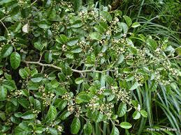 shade native plants carpodeus serratus putaputaweta nz native plants damp shade