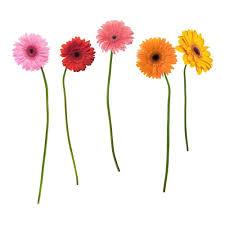 gerbera daisies roommates rmk1279gm gerber daisies peel stick