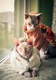 sphynx sweaters sphynx cats in sweaters so imagine a cat that you to