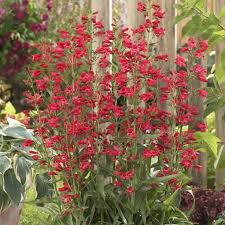 25 beautiful red perennials ideas on pinterest perennial bushes