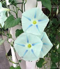 2017 climbing vine blue star morning glory flower seeds vine loads
