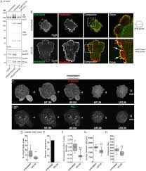 erk regulation of actin capping and bundling by eps8 promotes