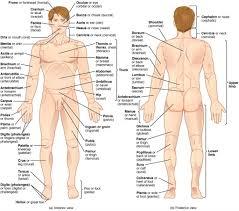 Human Anatomy Torso Diagram Anatomy Of Body Organs From Back Anatomy Organs Back Human