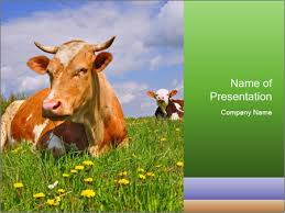 cow on a summer powerpoint template u0026 backgrounds id 0000090585