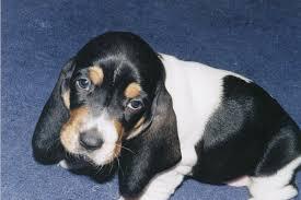 affenpinscher a donner guess the puppy quiz dog spotters