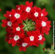 verbena flower 133 best verbena images on verbena beautiful flowers
