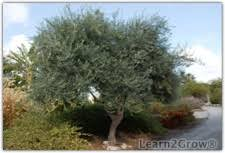 how to grow olive trees olive tree planting and care gardening