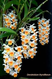 Awesome Looking Flowers Best 25 Dendrobium Orchids Ideas On Pinterest Unusual Flowers