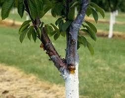 cherry prunus spp bacterial canker pacific northwest pest