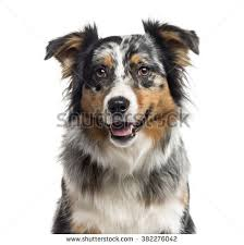 1 australian shepherd closeup australian shepherd dog 1 year stock photo 76678651
