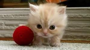 video kitten dance tiny persian kitten struts stuff