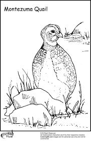 84 free coloring pages quail coloring pages quail quail az
