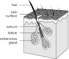 sebaceous gland wikipedia